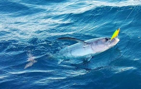 leurre dur pour pêcher le thon blanc à la traîne